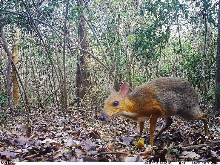 Tricky fanged mouse-deer got on camera subsequent to vanishing for very nearly 30 years