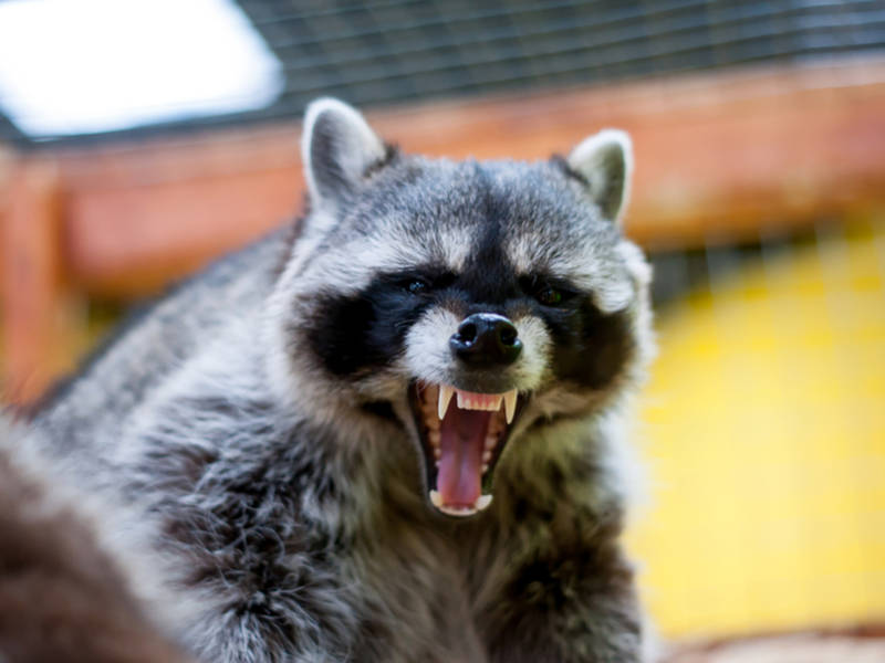 New Jersey occupant chomped by raccoon in backyard, gets rabies treatment